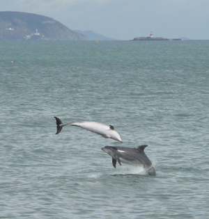 Bottlenose dolphin aerial acrobatics off Bray, 26/0911© Justin Ivory