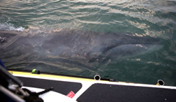 Whale in Larne lough