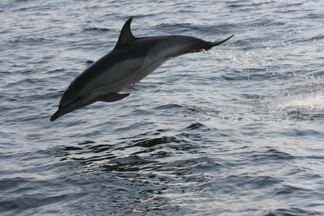Common dolphin off Cape Clear © Pádraig Whooley, IWDG