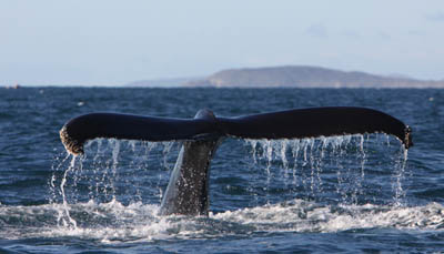Humpback whale off Cape Clear © Pádraig Whooley, IWDG
