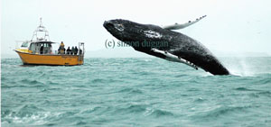 Humpback whale breaching off Baltimore 01/12/12 © Simon Duggan
