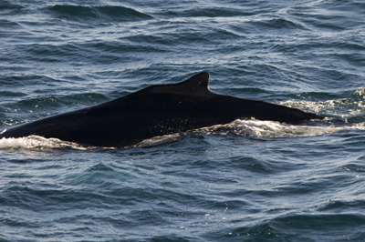 #HBIRL21, Ireland's newest humpback, Seven Heads, Cork 08/11/12 © Lt. Rónán Mc Laughlin, Irish Naval Service, L.É. Ciara