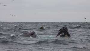 Humpback pair bubble-netting with common dolphins, West Cork © Pádraig Whooley, IWDG