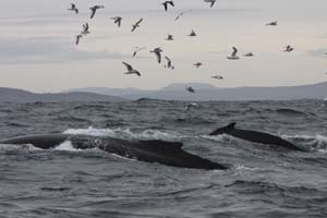 #HBIRL 4 & 10 off Baltimore, West Cork 24/11/12 © Pádraig Whooley, IWDG