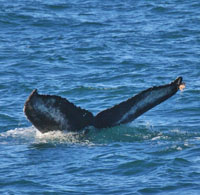Newest Humpback to Irish waters #HBIRL21, © Richard Boyle