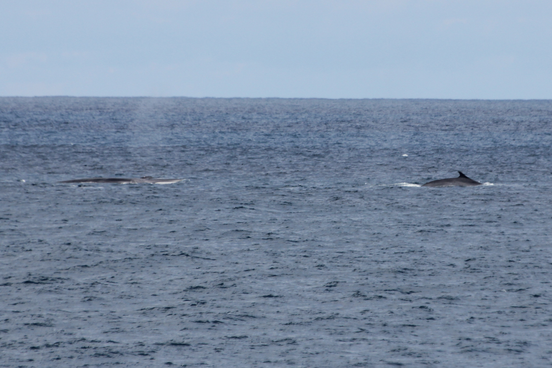 Fin whales on the Porcupine Seabight, 28/07/13 © Gordon Kinsella, Irish Navy Service