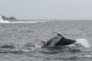 Bottlenose dolphin, Dublin Bay, Howth in background © Susan Early