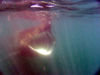 Basking shark, Cork Harbour © Conor Ryan