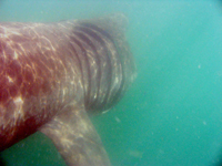Basking shark Cork Hbr. 080607 © Conor Ryan