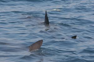 Basking sharks, Waterford coast © Pádraig Whooley, IWDG