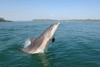Bottlenose dolphin, Cork Harbour © Philip Daly