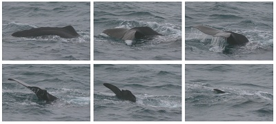 Sperm Whale Diving © Dave Wall/IWDG/GMIT