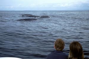 Fin whales, Irish South coast © Pádraig Whooley, IWDG