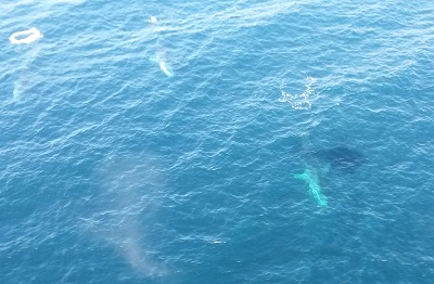 Fin whales off Cork coast 25/05/2015  © Irish Air Corp