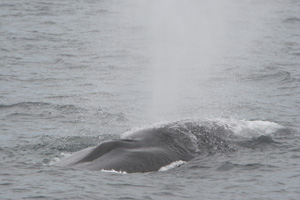 Fin whale surfacing West Cork 13/08/07 © Padraig Whooley, IWDG