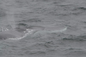 Fin whale showing diagnostic Lr. white right jaw 13/08/07 © Padraig Whooley, IWDG