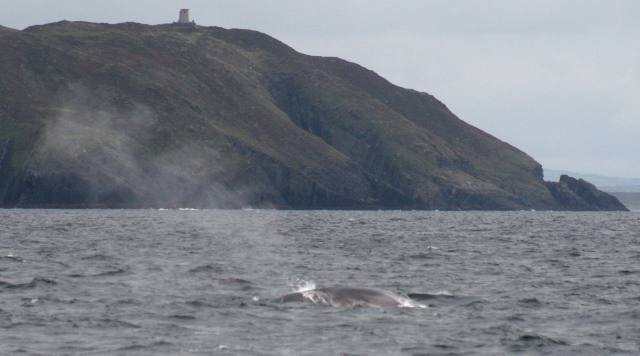 Fin whale blowing off Cape Clear