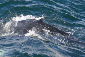 Humpback whale, W. Cork, Ireland 28/09/07 © Conor Ryan