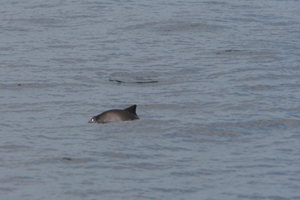 Harbour porpoise, 220807 W Cork © Padraig Whooley, IWDG