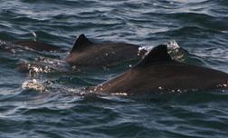 harbour porpoise off the Blasket Islands©Simon Berrow/IWDG