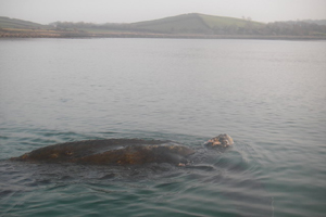 Leatherback turtle, Strangford Lough 17/02/08 © Andy Elliot