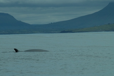 Minke whale, Mullaghmore, Co. Sligo © Sean Crankshaw