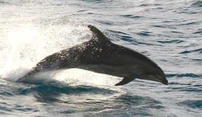 Bottlenose Dolphin, Porcupine Bank © Dave Wall GMIT/IWDG