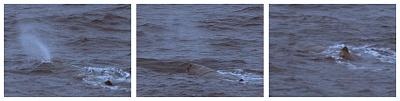 Sperm Whale, Rockall Trough © Dave Wall GMIT/IWDG
