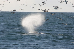 Fin whale feeding©Padraig Whooley/IWDG