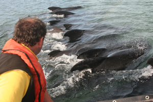 Pilot whales, Castlegregory, Co. Kerry © Simon Berrow