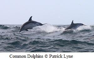 Common dolphins © Patrick Lyne