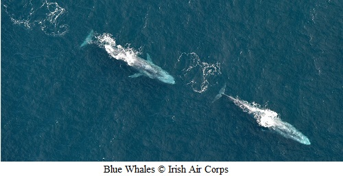 Two Blue Whales surfacing © Irish Air Corps
