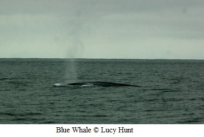Blue whale blow © Lucy Hunt