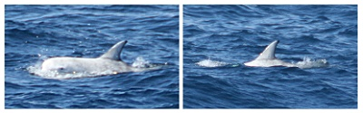 Risso's Dolphins, West of Castletownbere © Dave Wall GMIT/IWDG