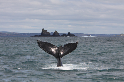 Humpback whale, The Stags, West Cork © Pádraig Whooley, IWDG