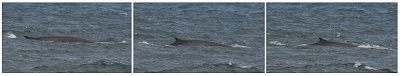 Fin whale surfacing off Galley Head 6/12/2008 © Dave Wall GMIT/IWDG