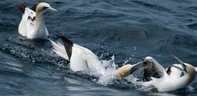 Gannets fighting, Porcupine Bank 12/05/2009 © Dave Wall GMIT/IWDG