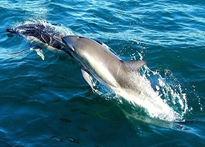 Common dolphins © 2012