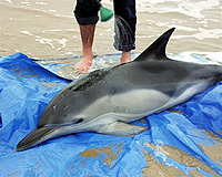 stranded common dolphin